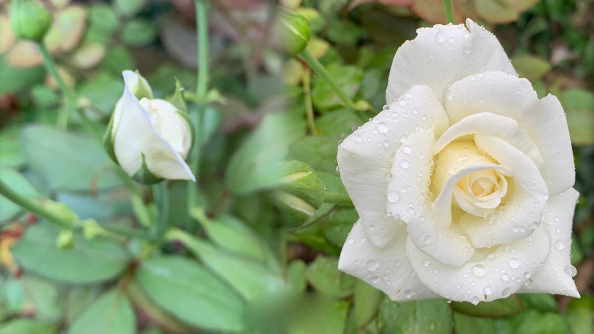 Botões de Rosas brancas após a poda