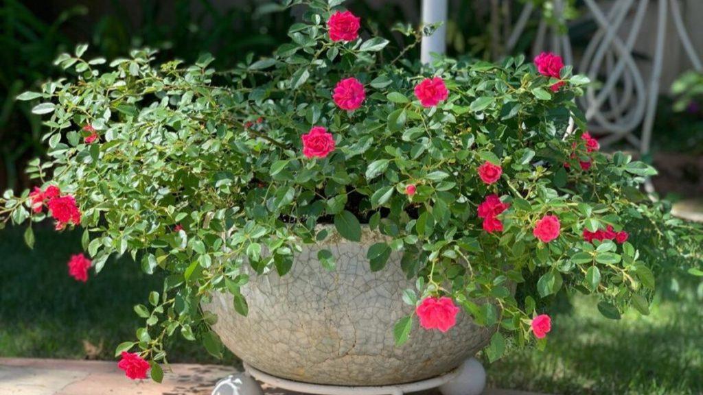 Mini rosa em um vaso