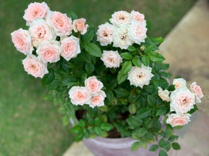 Mini Rosa do jardineiro Amador