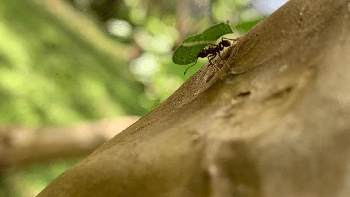 Formigas carregadeiras