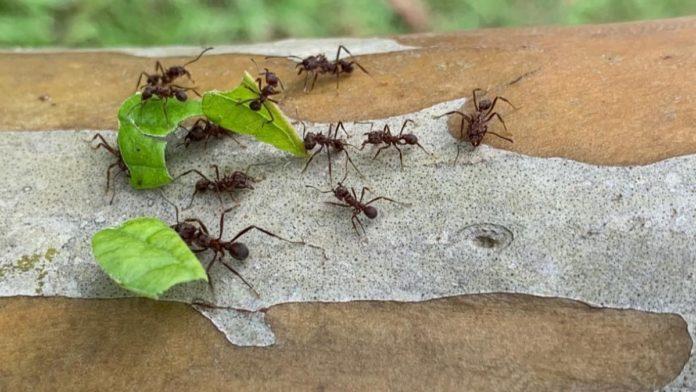 formiga carregadeira