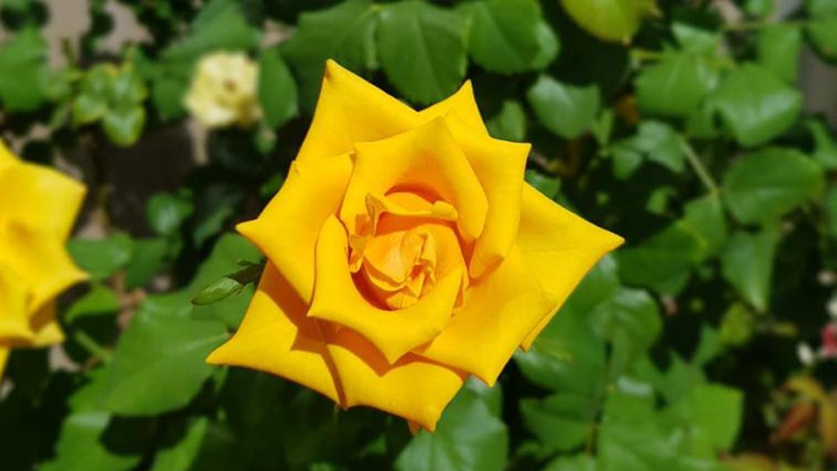 Rosa Amarela Jardineiro Amador