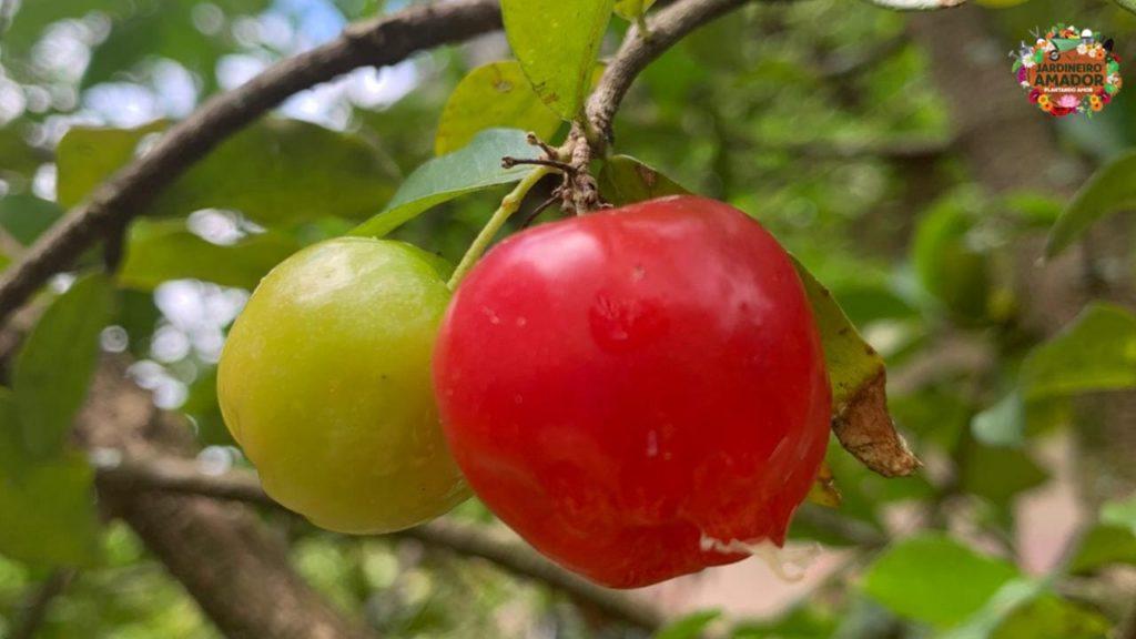 Imagem de acerolas verdes e maduras ainda na árvore