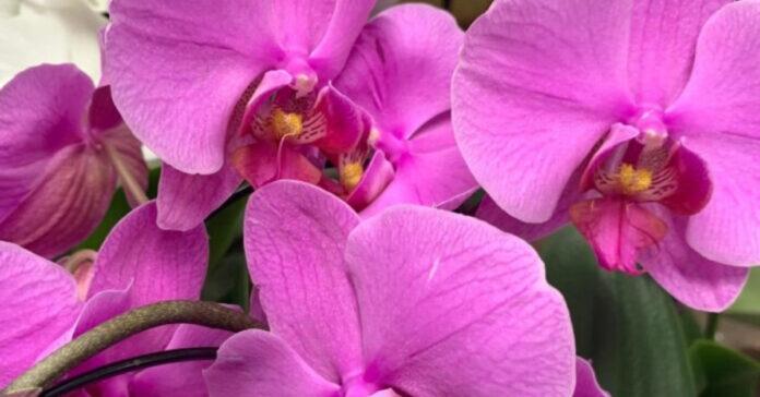 Foto de flores de orquídeas lilas