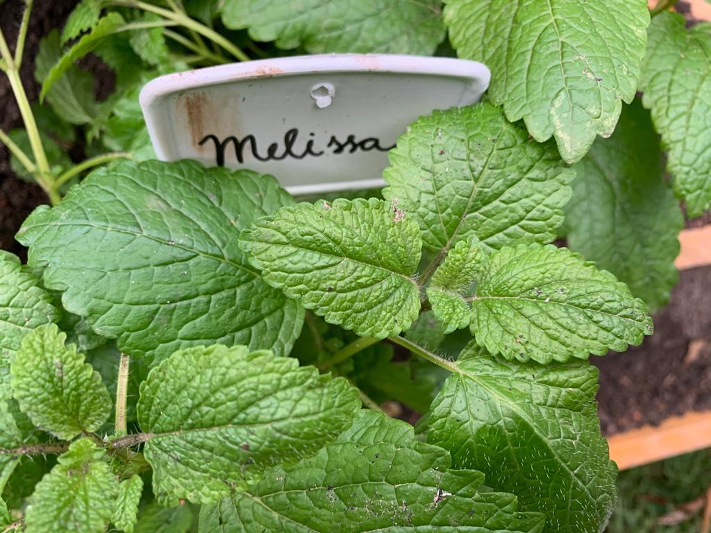 Pezinho de erva cidreira ou melissa