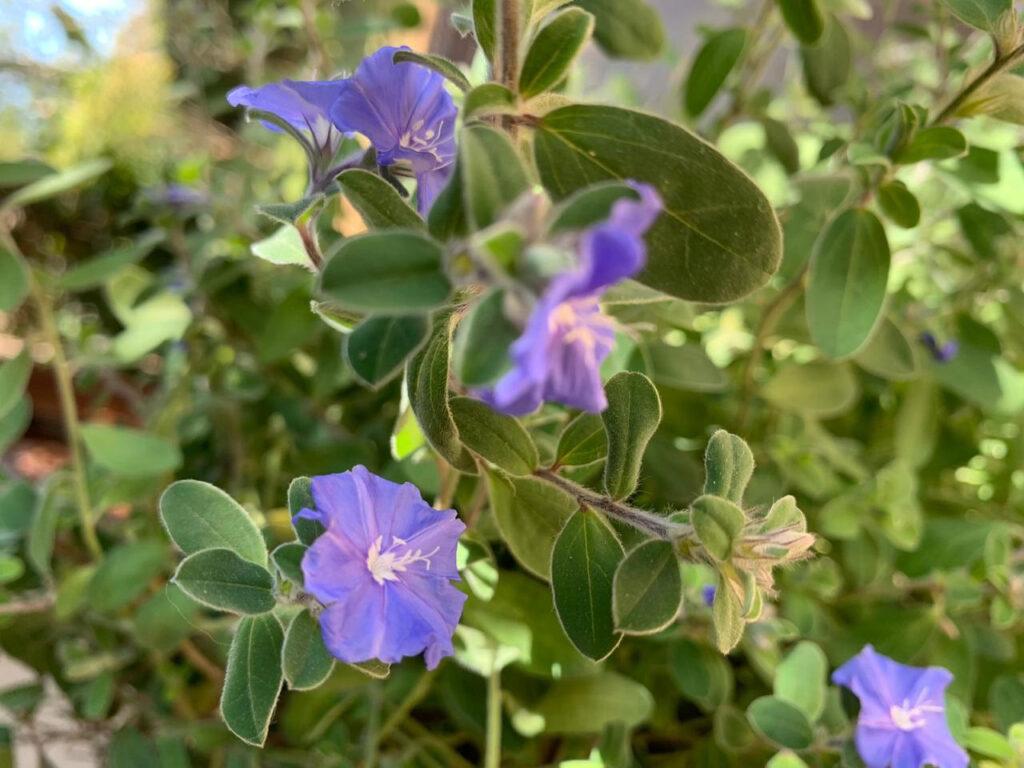 azulzinha em vasos no Jardim