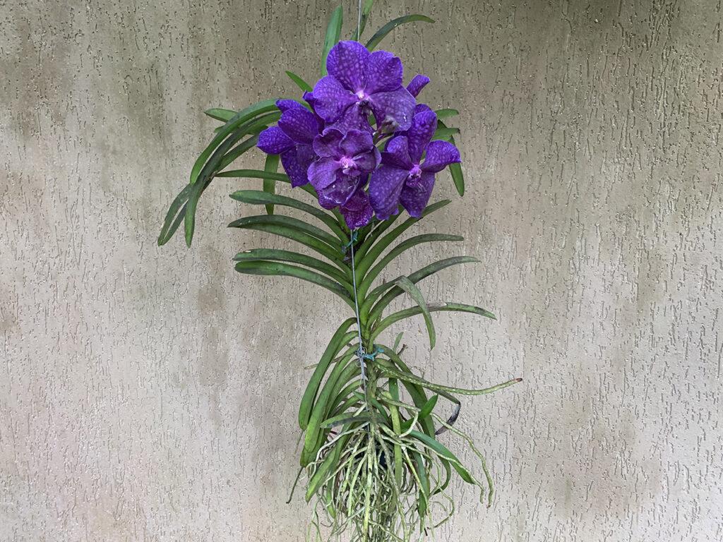 Orquídea Vanda florida